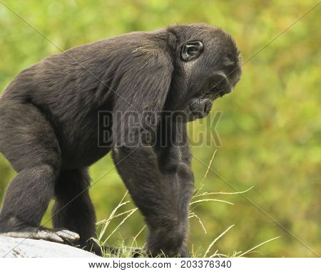 A Close Up Portrait of a Juvenile Western Lowland Gorilla