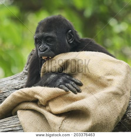 A Juvenile Western Lowland Gorilla Plays with a Burlap Sack
