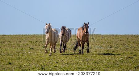 Wild horses range the Pryor Mountains outside Lovell Wyoming. poster