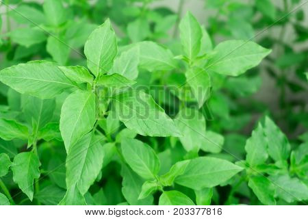 hoary basil or basilicum in the pot ingredient for cooking