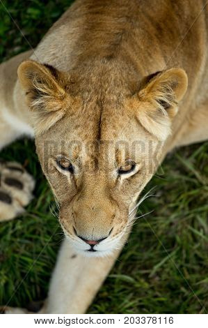 Lioness On Green Grass, Close Up, Top View