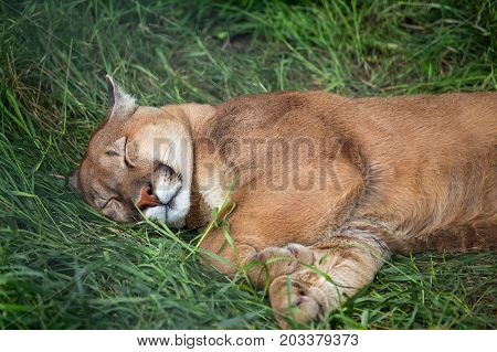 mountain lion sleeping on the grass in zoo