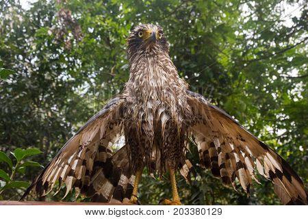 The wet hawk is spreading its wings sunbathe