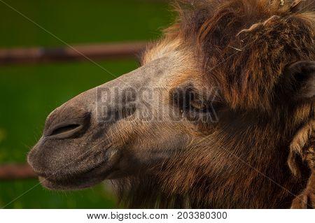 Bactrian camel runs close up in zoo