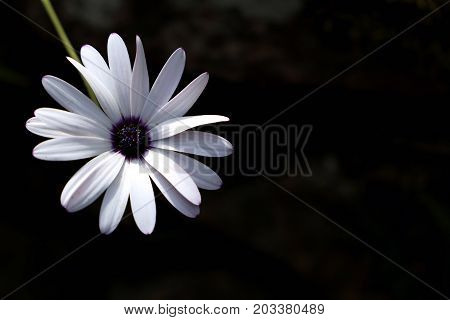 Single white summer flower on a dark background