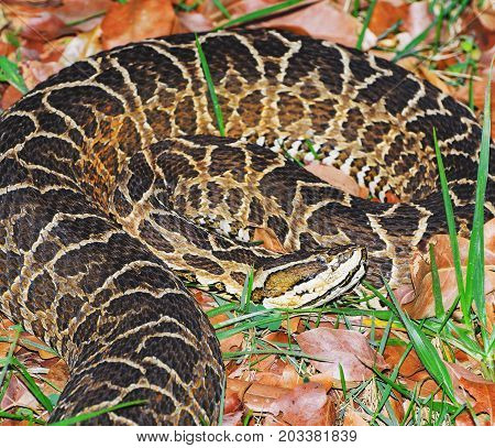 Snake Bothrops Known As Jararaca In Brazil