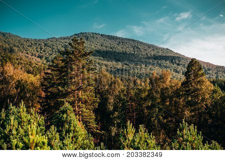 Beautiful bright autumn mountain scenery: fir cedar pine trees and dry birches in foreground; coniferous forest in background on bent; teal clean sky; Altai mountains Manzherok district Russia