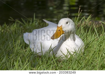 White duck sits on the green grass next to a pond or lake close-up