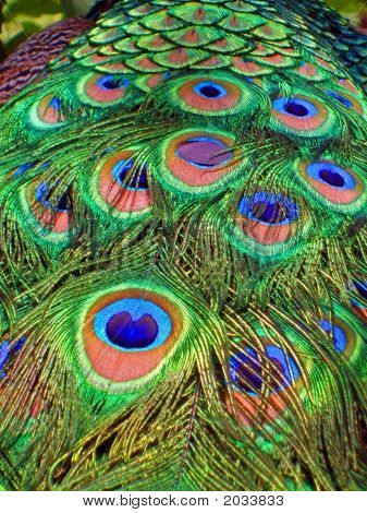Peacock Tailfan Feathers