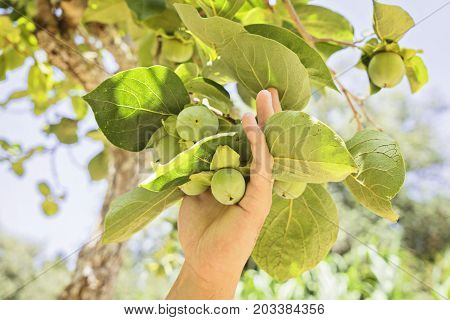 Male hand with young persimmon fruit on a branch. The farmer checks young persimmon fruit on a branch