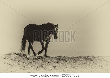 Wild horses range the Pryor Mountains outside Lovell Wyoming. poster