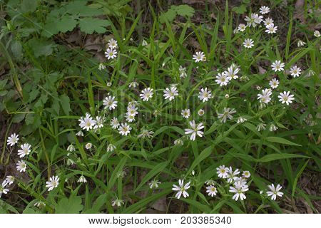 the Stellaria holostea white flowers bushy thickets