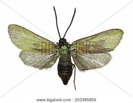 Green Forester on white Background - Adscita statices (Linnaeus 1758)