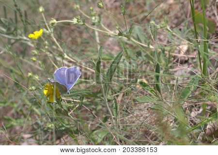 Amanda's Blue Butterfly With Closed Wings Collecting Nectar