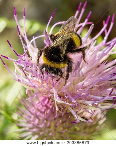 macro of a bumblebee on a summer flower