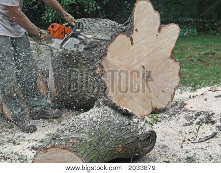 Sawdust flying a man who is an expert in tree removal saws the trunk of a large old maple tree which he has just severed from its roots because during a storm some of it branches had fallen near the house.