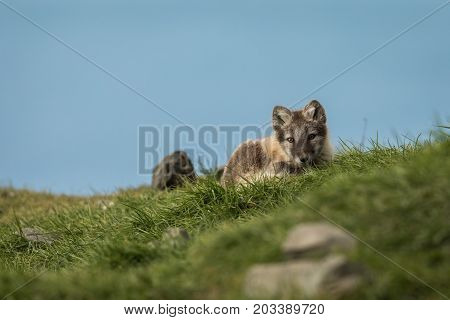 Arctic fox cub, curious, looking into camera, Longyearbyen, Svalbard in august 2017