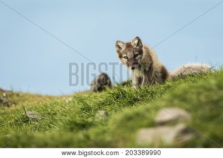 Arctic fox cub, curious, sitting and looking into camera, Longyearbyen, Svalbard in august 2017