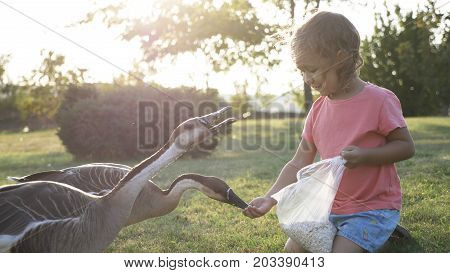 Cute happy little girl feeding wild geese from palm in summer day at green meadow. Child with animals in nature with beautiful sunset light, 4K slow motion.