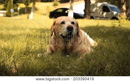 Labrador Retriever in a park of Spain.