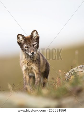 Arctic fox youngster, curious, looking into camera, Longyearbyen, Svalbard in august 2017