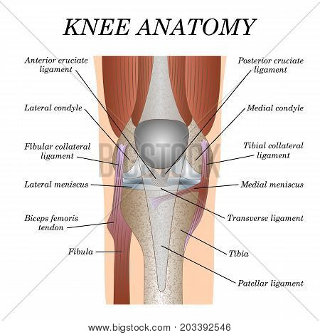 Anatomy knee joint vector photo free trial bigstock anatomy of the knee joint front view template for training a medical surgical poster traumatology page ccuart Gallery
