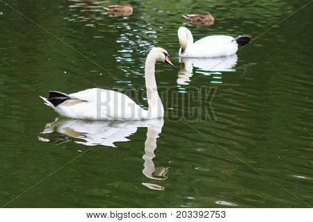Swans on the lake. Swans with nestlings. Swan with chicks. Mute swan family