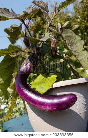 home grown eggplant at Vancouver BC Canada