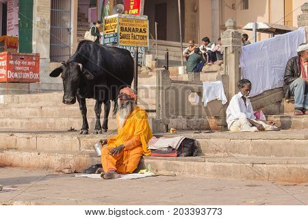 VARANASI INDIA - JANUARY 25 2017 : Black cow and Shaiva sadhu holy man sit on the ghats of the Ganges river in Varanasi India