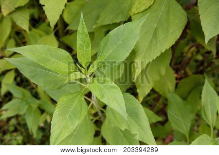 Jerusalem artichoke plant with white background close up