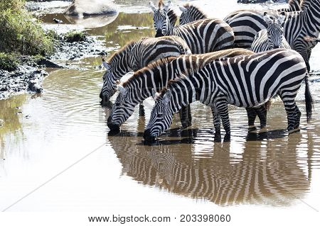 small herd of zebras at a watering place on a small river in the savannah in the dry season