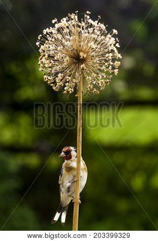 Goldfinch  A Goldfinch perching on a Drum Stick Allium. A common British garden bird