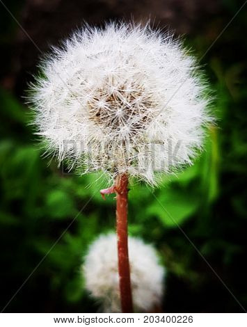 dandelion ready to extend the species whith the help of the wind