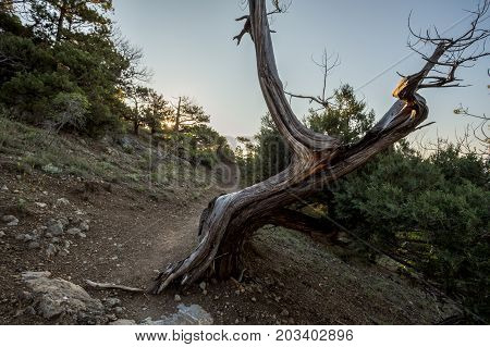Juniper Grove At Dawn Mountains Of Crimea