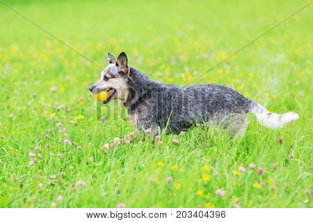 Australian Cattledog With A Ball In The Meadow