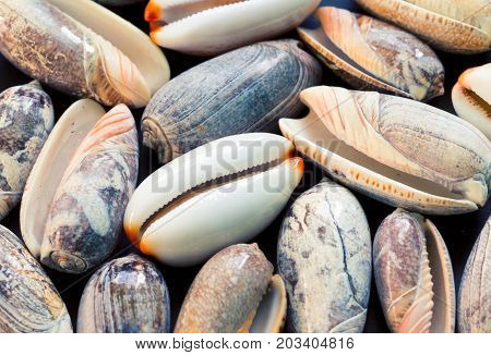Sea shells background. Cowrie and olive shells closeup. Sea shells banner template. Tropical island seashore findings. Exotic island beach texture. Warm sea nature detail. Marine shell cover top view.