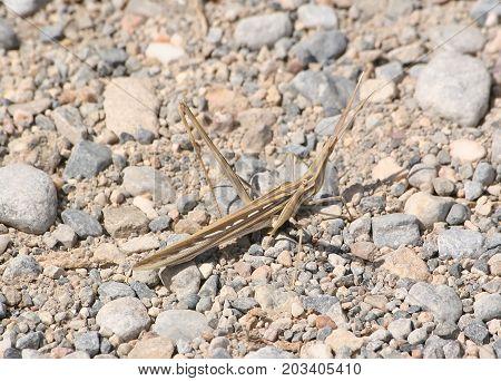 Grasshopper of
