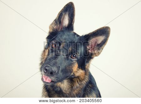 Cute funny German shepherd tilting its head (selective focus on the dog eyes) retro style