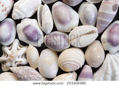 Pale violet sea shells background. Small shells closeup. Sea shell banner template. Tropical island seashore finding. Exotic island beach texture. Warm sea nature detail. Marine shell cover top view.