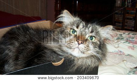 Maine Coon cat in various poses while in shoebox