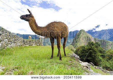 A Cute brown lama on the ruins of Machu Picchu lost city in Peru