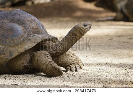 Giant turtles dipsochelys gigantea in La Vanille Nature Park island Mauritius Close up