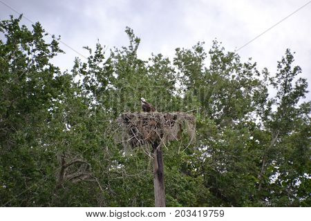 osprey guarding her nest on a cloudy day