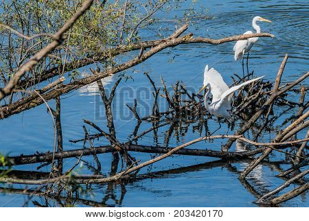 Two Great White Egrets On  A Pile Of Drift Wood