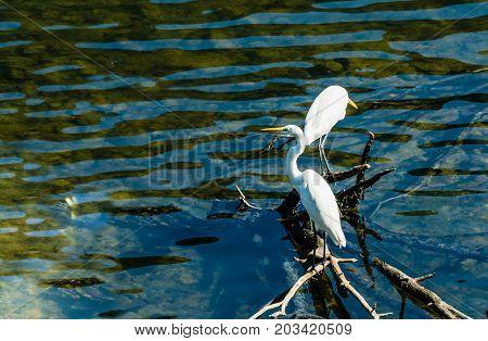 Two White Egret Standing On Drift Wood