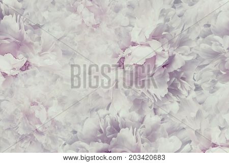 Floral vintage beautiful background. Wallpapers of flowers light pink-white peony. Flower composition. Close-up. Nature.