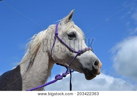 white bridled horse in profile with a blue sky background