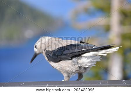 clark's nutcracker  seen in crater lake national park