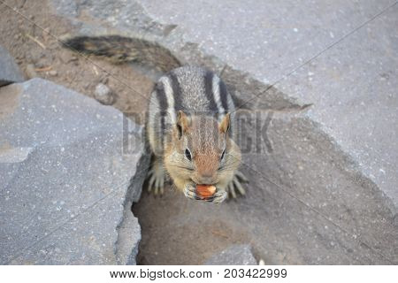 golden mantled ground squirrel is native to Crater Lake in the cascade mountains and forest in east oregon