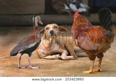 Meeting of the Minds, A dog, a duck and a rooster comunicate